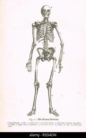 The Human Skeleton. A 19th Century diagram - Stock Image