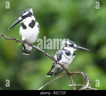 Male (right) and female (left) pied kingfishers (Ceryle rudis) perch on a branch above Lake Mburo.  Lake Mburo National Park, Uganda. - Stock Image