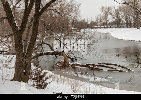 A fallen dead tree resting in a partially frozen pond after a snowfall. USA - Stock Image