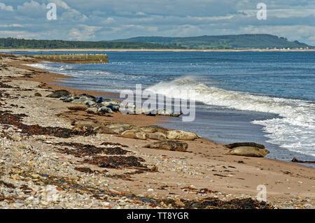 PORTGORDON BEACH MORAY SCOTLAND COMMON SEALS LYING ON THE SAND WITH WAVES CRASHING ONTO THE BEACH - Stock Image