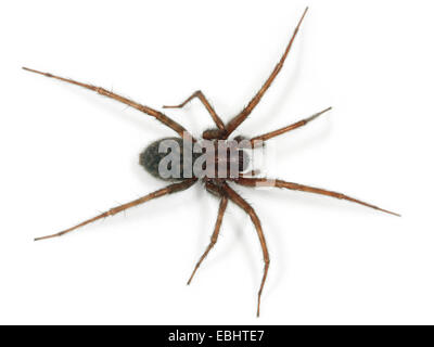 A female Common House-spider (Teganaria domestica), on a white background, part of the family Agelenidae - Funnel - Stock Image