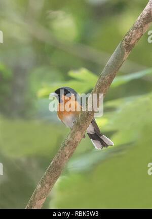 Spectacled Monarch (Monarcha trivirgatus) perched on a branch, Julatten, Atherton Tablelands, Far North Queensland, FNQ, QLD, Australia - Stock Image