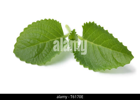 Fresh green twig of Mexican mint isolated on white background - Stock Image