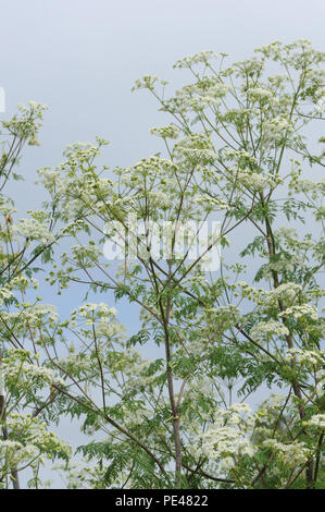 Hemlock (Conium maculatum) growing behind the sea defences of Rye Bay. Rye Harbour Nature Reserve, Rye, Sussex, UK. - Stock Image