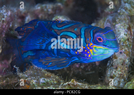 Close up image of a Mandarinfish (Synchiropus Splendidus), in coral rubble. Lembeh Straits, Indonesia. - Stock Image