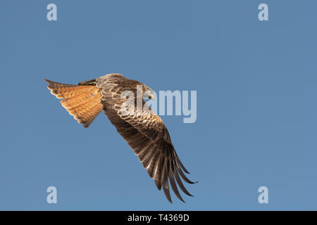 Red Kite in Flight - Stock Image