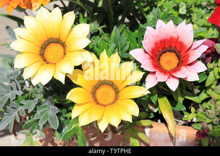 Treasure Flower a.k.a. Gazanias ( variety New Day Pink Shades on r.h.s.) in Sant Jordi, Mallorca, Spain - Stock Image