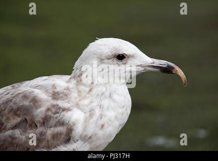 European Herring Gull, Larus argentatus, Whitby, United Kingdom - Stock Image