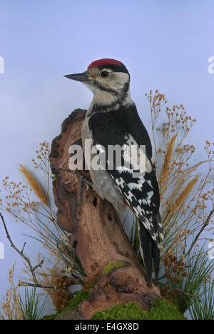 A juvenile Great-spotted Woodpecker (Dendrocopus major) preserved and mounted by taxidermy - Stock Image