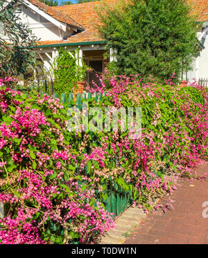 Weigela florida 'Pink Princess'  shrub growing through a wooden picket fence - Stock Image