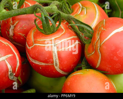 Although easy to grow, tomato fruits can suffer from splitting and cracking in late summer. This is difficult to prevent, as it is caused by fluctuating temperatures and water supply - which are often out of the control of the gardener. - Stock Image