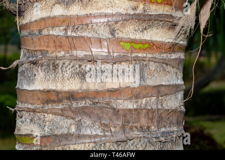 The bark of palm tree - texture or background copyspace - Stock Image