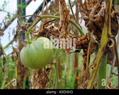 Unripe tomato in greenhouse with dead brown leaves damaged by phytophthora close up - Stock Image