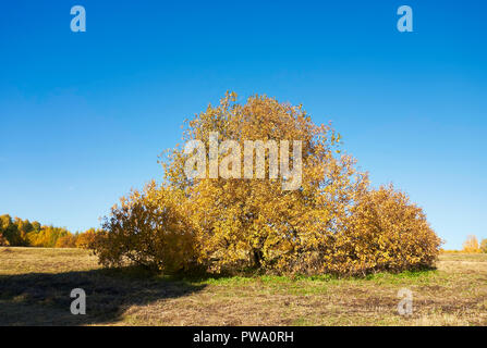 Tree with golden yellow foliage in autumn. Bitsevski Park (Bitsa Park), Moscow, Russia. - Stock Image