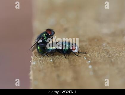 Close-up of A pair of Blow-flies (Calliphoridae) (Lucilia sericata, unconfirmed) mating in Glasgow, Scotland, UK, Europe - Stock Image