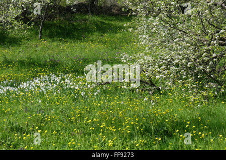 Spring garden with blooming flowers and apple trees. - Stock Image