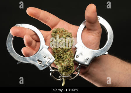 Man with cannabis drug bud and silver handcuffs closeup isolated on black studio background - Stock Image