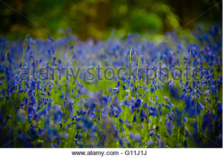 A carpet of bluebells in the Spring sunshine on Merseyside. Credit:  Christopher Canty Photography/Alamy Live News - Stock Image