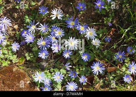 Greek anemones (Anemone blanda) in dappled Spring sunshine. - Stock Image