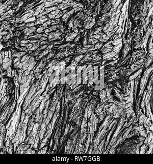 Maple Tree Bark, Close-Up - Stock Image