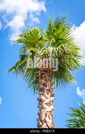 Palm tree in the tropics rising up into the blue sky - Stock Image