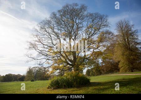 Cappadocian maple tree, acer cappadocicum, National arboretum, Westonbirt arboretum, Gloucestershire, England, UK - Stock Image