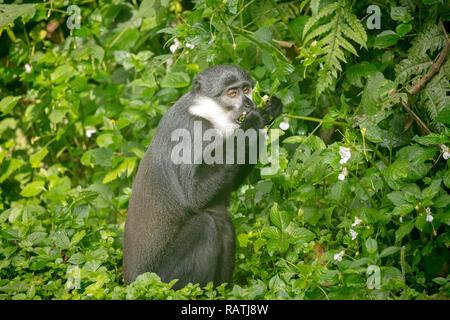 L'Hoest's monkey (Cercopithecus lhoesti), or mountain monkey, a guenon, Bwindi Impenetrable National Park, Uganda, Africa - Stock Image