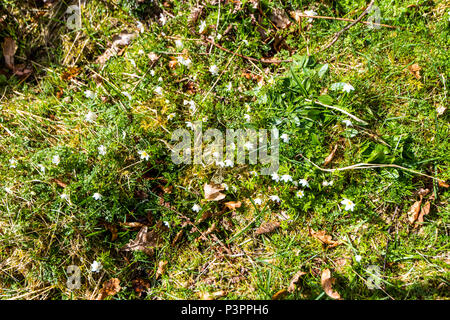 Wood anemones (Anemone nemorosa) growing on the slopes of Craig Meagaidh near Ardvasar in the Highlands of Scotland - Stock Image