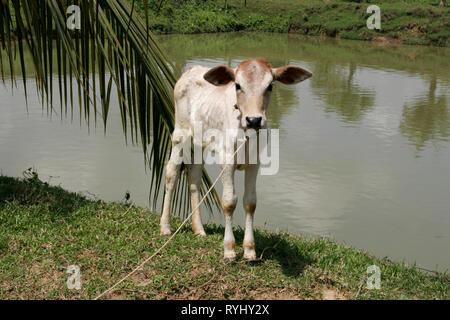 BANGLADESH A young calf. Haluaghat, Mymensingh region photo by Sean Sprague - Stock Image