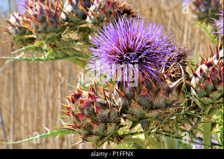 Thistle, Beebe Park, Mission Viejo, CA  080618_30856 - Stock Image