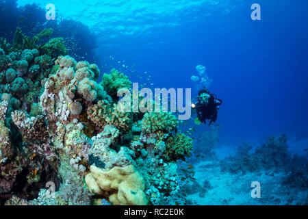 Woman diver explores the reef at Abu Dabab in the Red Sea, Egpyt - Stock Image