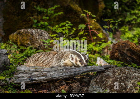 American Badger, Montana - Stock Image