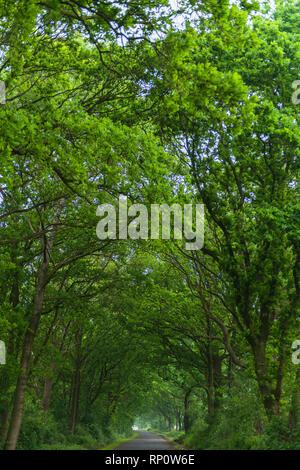 Alley or Baumallee bei Dellstedt, Dellstedt, Dithmarschen, Schleswig-Holstein, Germany - Stock Image