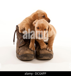Two Labrador puppies in a pair of leather working boots - Stock Image