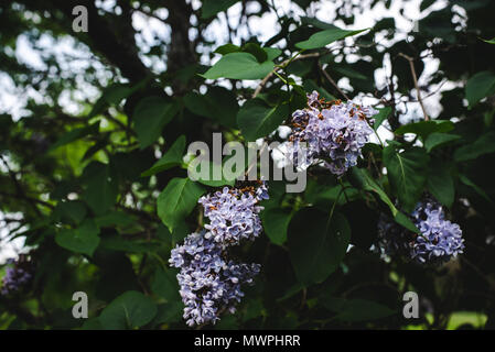 Purple lilacs on a bush in spring. - Stock Image