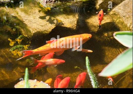 BT9RBD Golden orfe in garden pond - Stock Image