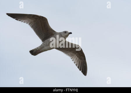 Seagull in flight over Blackpool - Stock Image