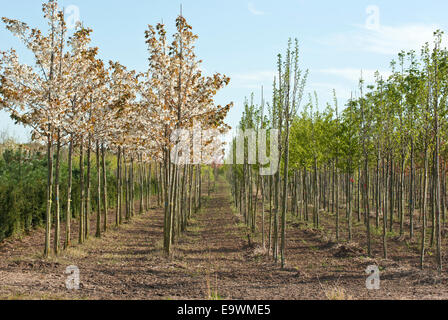 Young trees in a tree nursery in Spring - Stock Image