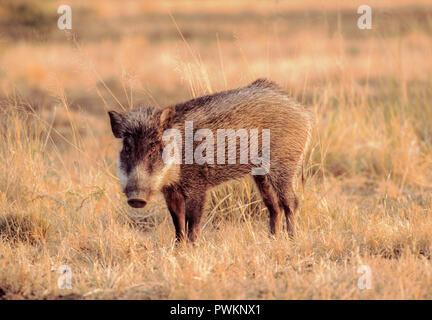 male Indian Wild Boar, Sus scrofa cristatus, in grasslands, Velavadar National Park, Gujarat, India - Stock Image