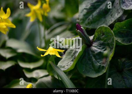erythronium tuolumnense kondo,yellow,flower,flowers,dogs tooth violet,Trillium kurabayashii,purple,red,flower,flowers,spring,shade,shaded,shady,wood,w - Stock Image