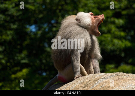 Baboon (Papio hamadryas) Male, sitting on rock calling, Hellabrunn Zoo, Munich, Upper Bavaria, Germany, Europe. - Stock Image