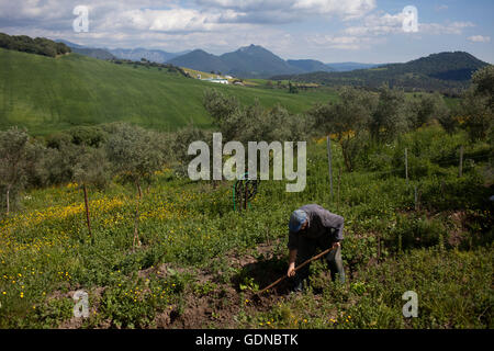 Diego Sanchez, a small farmer, works with a hoe in his organic farm in Prado del Rey, Cadiz, Andalusia, Spain, July - Stock Image