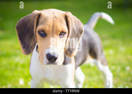 portrait of a puppy beagle dog - Stock Image