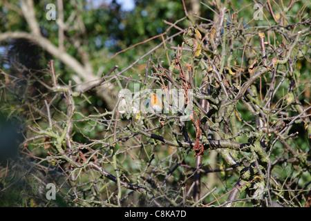 Robin in tree - Stock Image