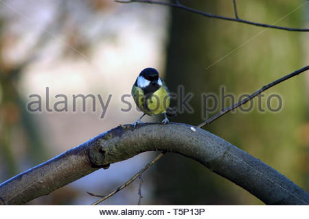 Great Tit (Parus major) songbird on a bare tree branch with an out of focus background - Stock Image