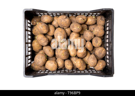 Black box full of sprouted seed potatoes, waiting for plantation in springtime. Isolated on white background. - Stock Image