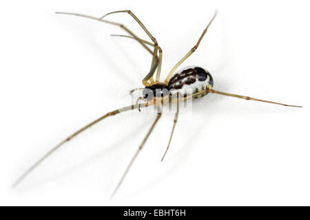 A female Sheetweb weaver (Neriene radiata) on white background. Sheetweb weavers are part of the family Linyphiidae. - Stock Image