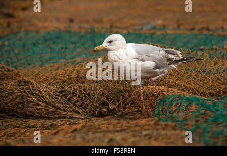 A Herring gull walking cautiously over fishing nets in search of scraps of food. - Stock Image