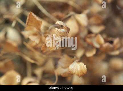 Dried Hydrangea Petals In Winter - Stock Image