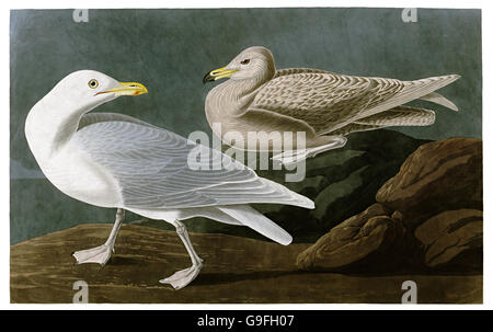 Glaucous Gull, Larus hyperboreus, birds, 1827 - 1838 - Stock Image